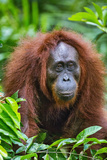 Indonesia, Central Kalimatan, Tanjung Puting National Park. a Female Bornean Orangutan. Photographic Print by Nigel Pavitt