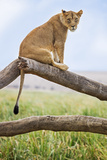 Kenya, Meru County, Lewa Wildlife Conservancy. a Lioness Sitting on the Branch of a Dead Tree. Photographic Print by Nigel Pavitt