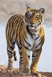 India, Rajasthan, Ranthambhore. a Female Bengal Tiger. Reprodukcja zdjęcia autor Nigel Pavitt