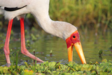 Yellow-Billed Stork Feeding in a Backwater of the Rufiji River, Selous Game Reserve, Tanzania Reproduction photographique par William Gray
