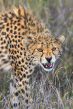 Kenya, Lewa Conservancy, Meru County. a Sub-Adult Cheetah on the Prowl in Lewa Conservancy. Photographic Print by Nigel Pavitt