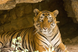 India, Rajasthan, Ranthambore. Royal Bengal Tiger known as Ustad (T24) Resting in a Cool Cave. Reprodukcja zdjęcia autor Katie Garrod