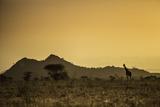 Kenya, Meru. a Giraffe Wanders across the Savannah in the Evening Light. Fotodruck von Niels Van Gijn