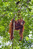 Indonesia, Central Kalimatan, Tanjung Puting National Park. a Mother and Baby Bornean Orangutan. Photographic Print by Nigel Pavitt