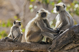 India, Rajasthan, Ranthambhore. a Family of Gray Langurs. Photographic Print by Nigel Pavitt