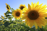 Sunflowers in Full Bloom During August in a Field Near Perugia, Umbria, Italy Photographic Print by William Gray