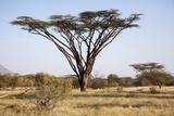 Kenya, Shaba National Park. a Magnificent Acacia Tortilis. Fotodruck von Niels Van Gijn