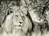 Moketsi Lion Giclée-tryk af Wink Gaines