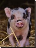 Farm Animal Pig Stretched Canvas Print by  Wonderful Dream