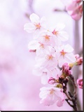 Pink Cherry Blossom Japan Stretched Canvas Print by  Wonderful Dream