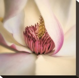 Pink Magnolia Stretched Canvas Print by Diane Poinski