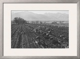 Potato Fields Prints by Ansel Adams