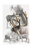 Caribou Giclee Print by Barbara Keith