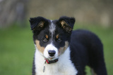 Border Collie 43 Photographic Print by Bob Langrish