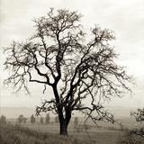 Sonoma Oak I Photographic Print by Alan Blaustein
