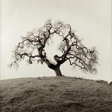 Sonoma Oak II Photographic Print by Alan Blaustein