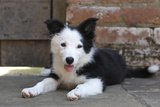 Border Collie 35 Photographic Print by Bob Langrish