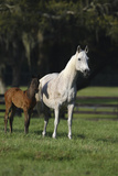 Hennessy Arabians 014 Photographic Print by Bob Langrish