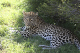 South African Leopard 004 Photographic Print by Bob Langrish