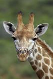African Giraffes 002 Photographic Print by Bob Langrish
