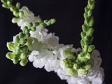 Snapdragon White Photographic Print by Bob Rouse
