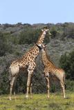 African Giraffes 022 Photographic Print by Bob Langrish