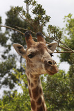 African Giraffes 033 Photographic Print by Bob Langrish