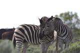 African Zebras 076 Photographic Print by Bob Langrish