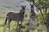 African Zebras 114 Photographic Print by Bob Langrish