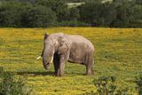 African Elephants 010 Photographic Print by Bob Langrish