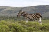 African Zebras 117 Photographic Print by Bob Langrish