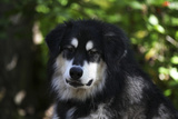 Alaskan Malamute 01 Photographic Print by Bob Langrish