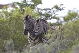 African Zebras 080 Photographic Print by Bob Langrish
