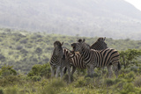 African Zebras 112 Photographic Print by Bob Langrish
