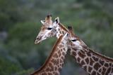 African Giraffes 014 Photographic Print by Bob Langrish