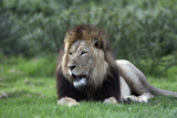 African Lions 003 Photographic Print by Bob Langrish