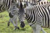African Zebras 107 Photographic Print by Bob Langrish