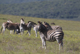 African Zebras 031 Photographic Print by Bob Langrish