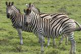 African Zebras 110 Photographic Print by Bob Langrish