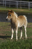 Miniature Horse 001 Photographic Print by Bob Langrish