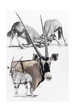 Gemsbok Giclee Print by Barbara Keith