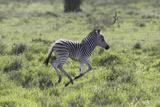 African Zebras 100 Photographic Print by Bob Langrish