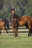 Hennessy Arabians 012 Photographic Print by Bob Langrish