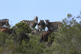African Zebras 111 Photographic Print by Bob Langrish