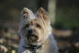 Cairn Terrier 17 Stampa fotografica di Bob Langrish