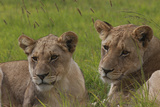 African Lions 018 Photographic Print by Bob Langrish