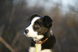 Border Collie 73 Photographic Print by Bob Langrish