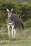 African Zebras 092 Photographic Print by Bob Langrish