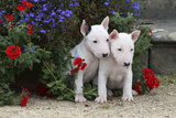Bull Terrier 02 Photographic Print by Bob Langrish