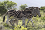 African Zebras 115 Photographic Print by Bob Langrish